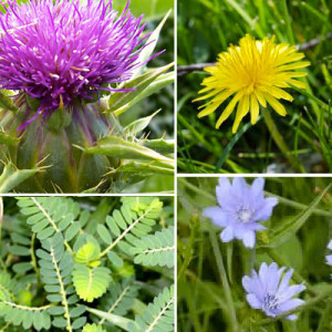 herbs for liver