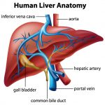 Inside the World of Your Liver
