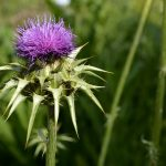 Milk Thistle For Fatty Liver: Hope or Hype?